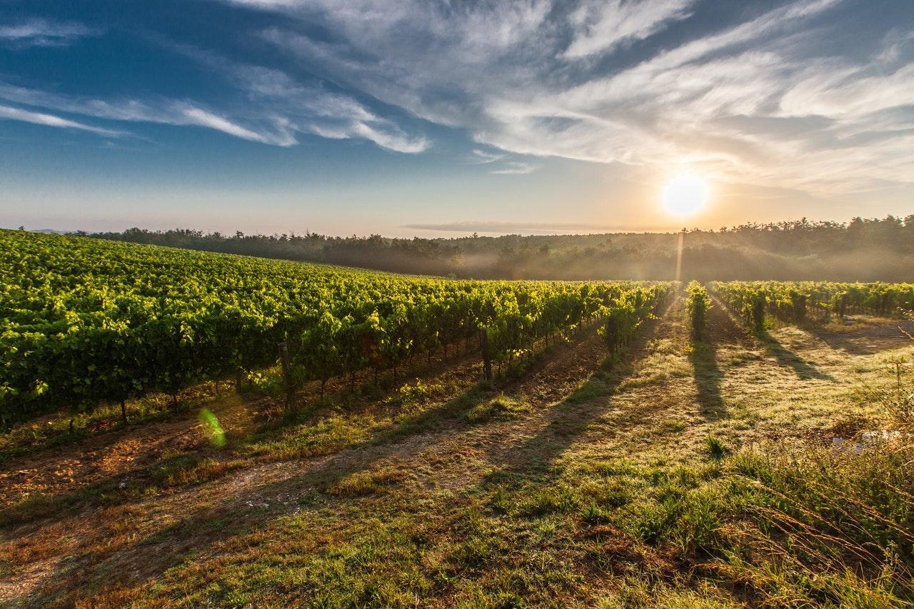 Sonnenuntergang hinter Weinreben in Südtirol